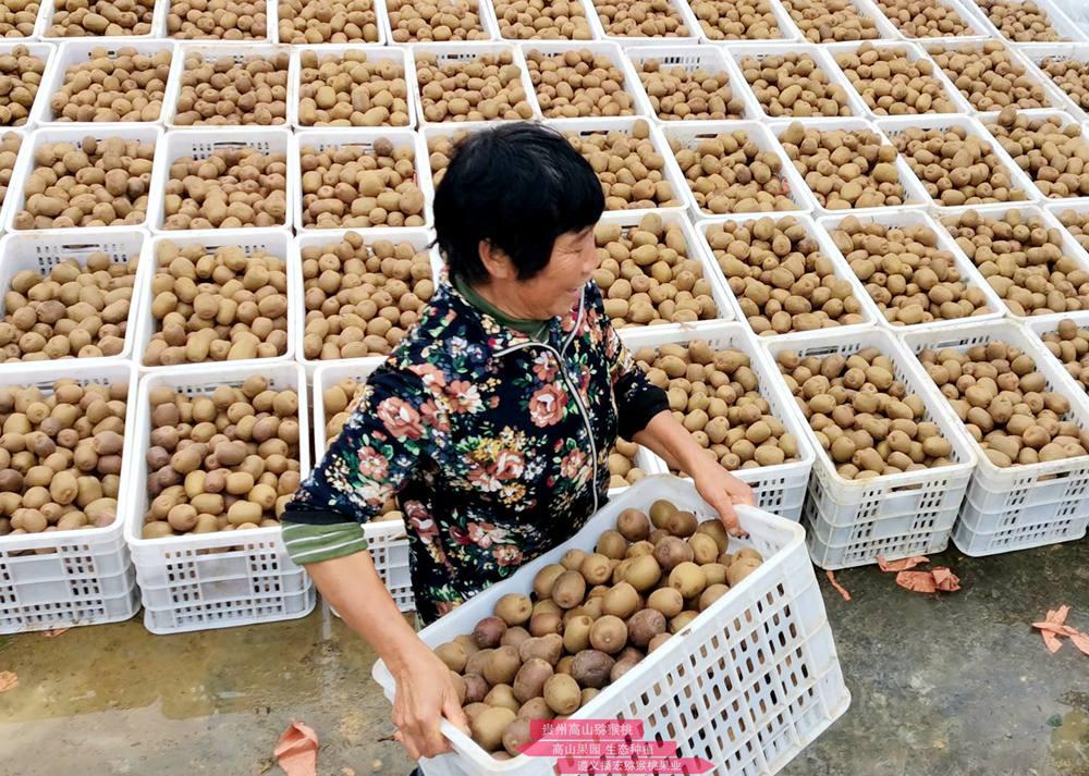 贵州高山有机猕猴桃