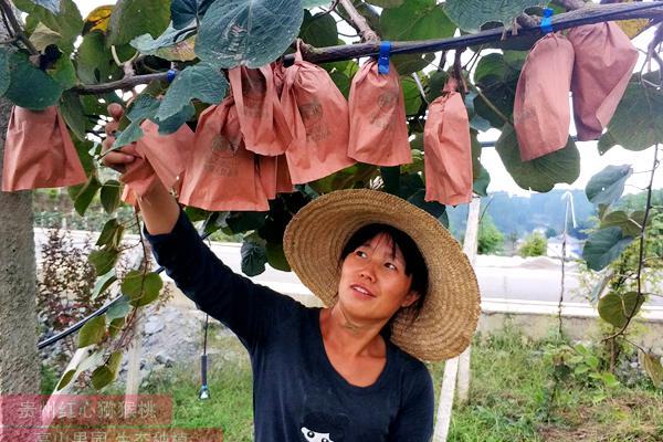 江苏扬州猕猴桃专家种植了大片水果金红50猕猴桃