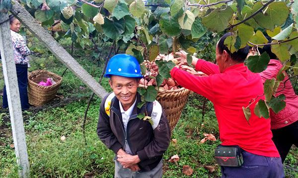 贵州红心猕猴桃采收