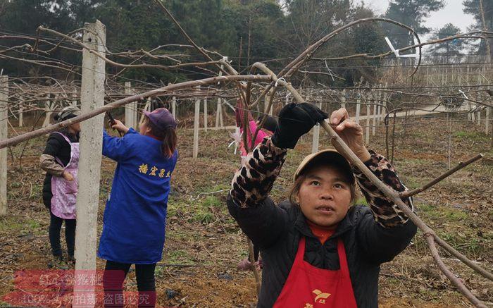 猕猴桃冬季修剪