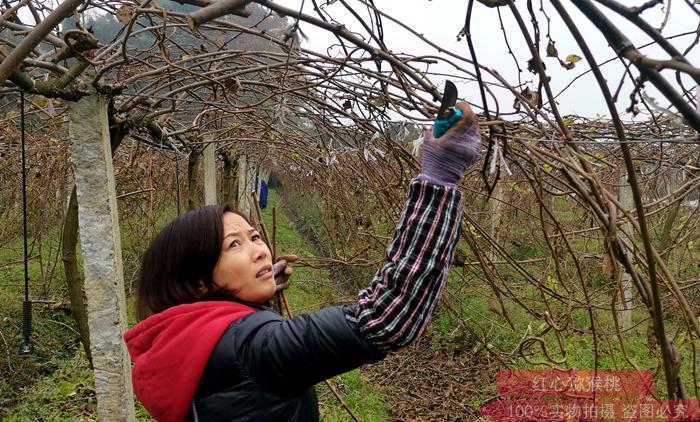 东红猕猴桃果园修剪