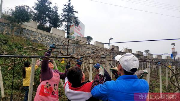 贵州遵义退休工人在绥阳流转土地种植有机猕猴桃