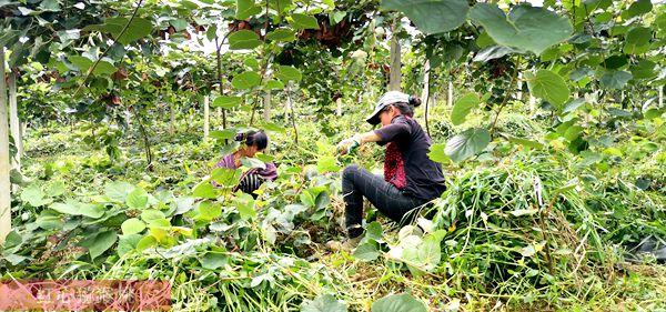猕猴桃园生草