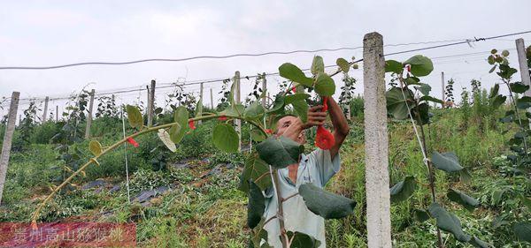 有机红心猕猴桃果园除草