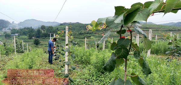 贵州猕猴桃技术管理