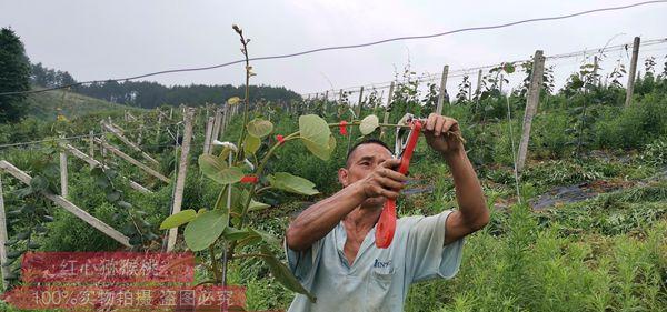 贵州红心猕猴桃销售