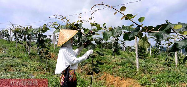 湖北建始县农民猕猴桃产值可超过15万元