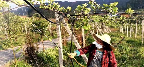 东红猕猴桃施肥