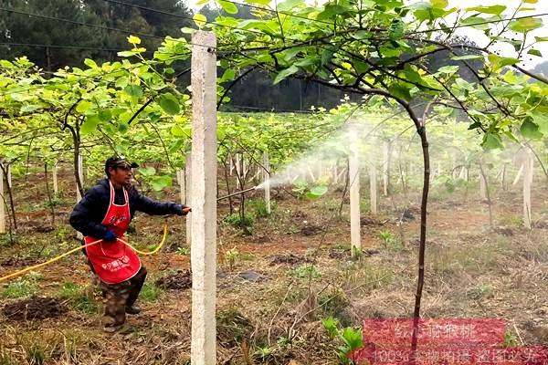 贵州六盘水水城形成了5个万亩猕猴桃基地和百里红心猕猴桃产业带