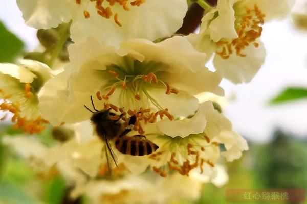 猕猴桃基地春季