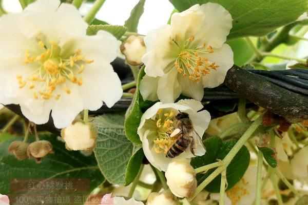 首届湖北省猕猴桃采摘节在夷陵区举行