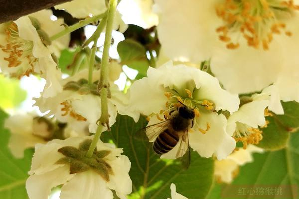 江苏猕猴桃基地春季