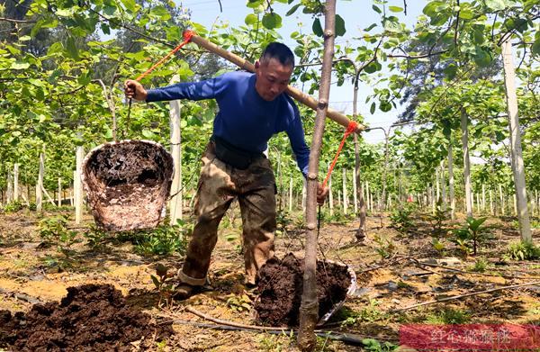 这款黄心猕猴桃它是源自自然优美果园环境