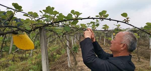 眼下正是江苏连云港市赣榆区猕猴桃即将成熟上市的最佳时节