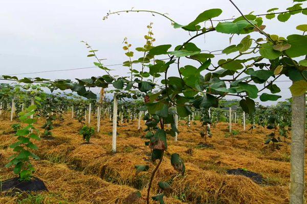 贵州猕猴桃果园