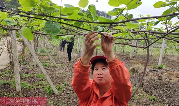 湖南麻阳苗族自治县猕猴桃进行原生态管理