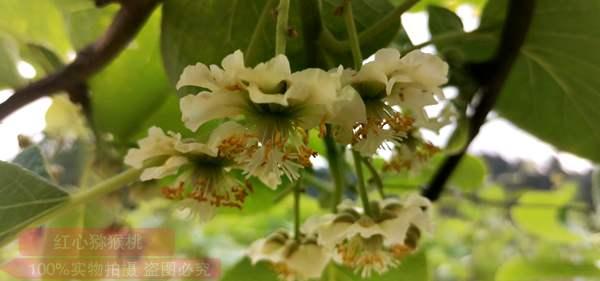 红心猕猴桃花粉