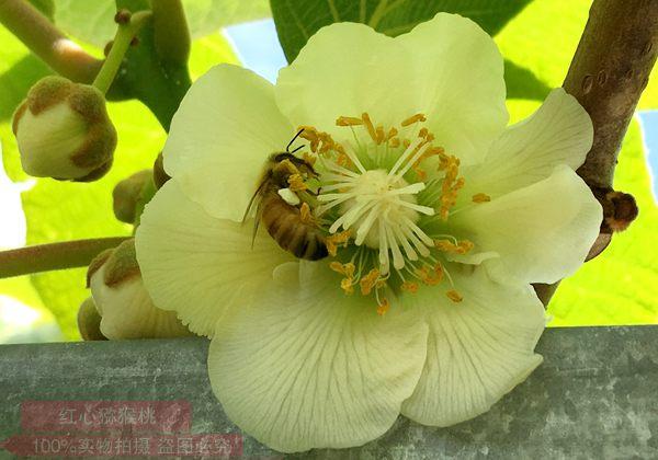 红心猕猴桃花粉采摘