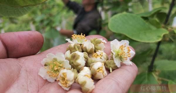 贵州猕猴桃花粉