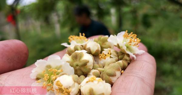 猕猴桃公花