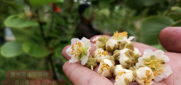 贵州猕猴桃雄花花粉
