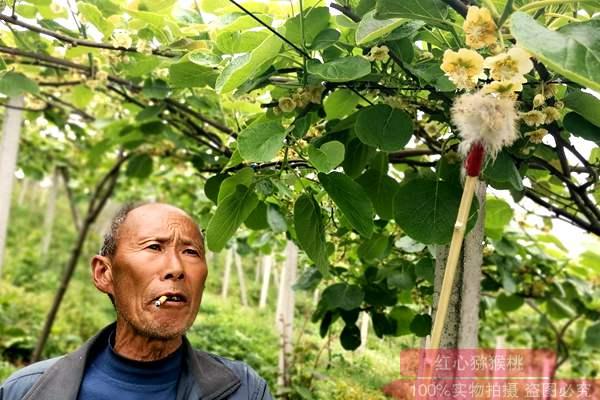 猕猴桃花粉采摘