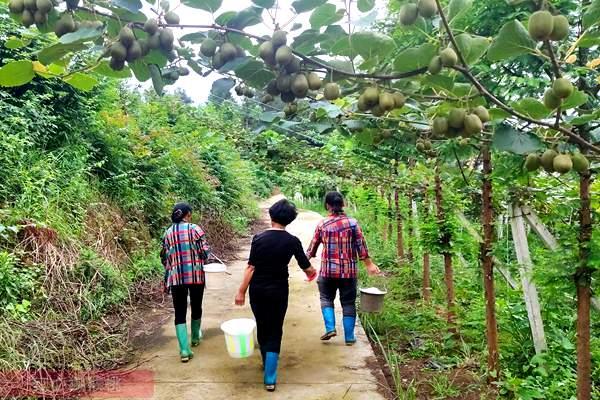 湖南江华瑶族自治县大石桥乡百亩红心白白色陆续成熟