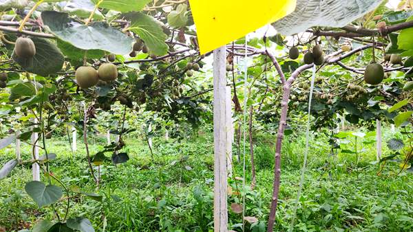 有机猕猴桃施肥
