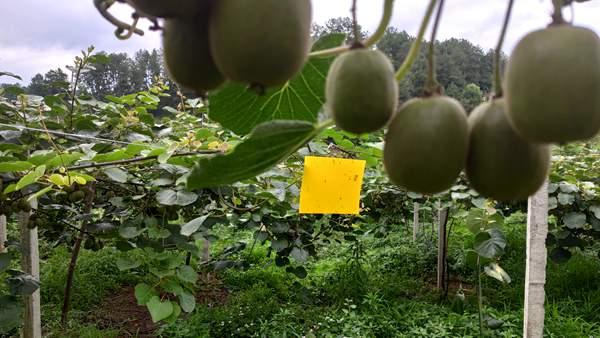 上海猕猴桃施肥