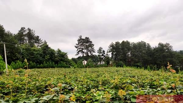 走进贵州省黔西南州普定县千亩生态红心猕猴桃基地带动群众增收