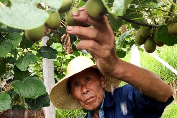 四川成都的红心猕猴桃采摘园电话