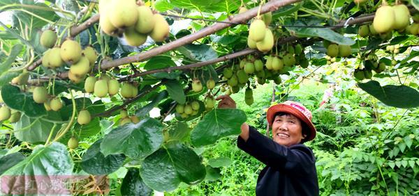 湖南省永顺县气候和地质条件很适合种植猕猴桃