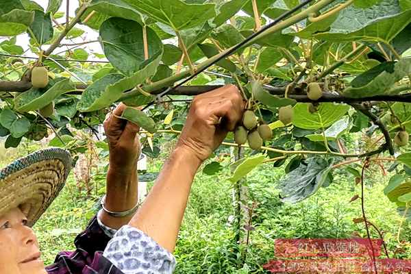 东红猕猴桃疏果