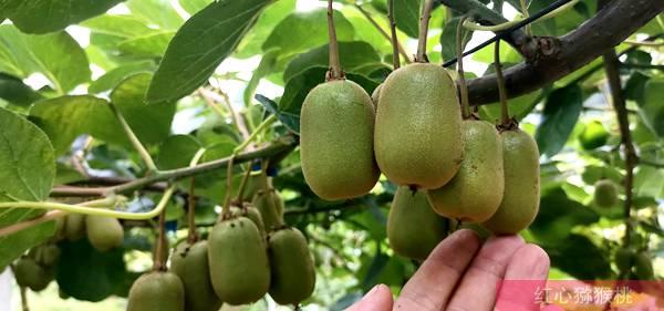 江苏常州:地产红心猕猴桃已经上市,让市民吃上本地种植的有机猕猴桃