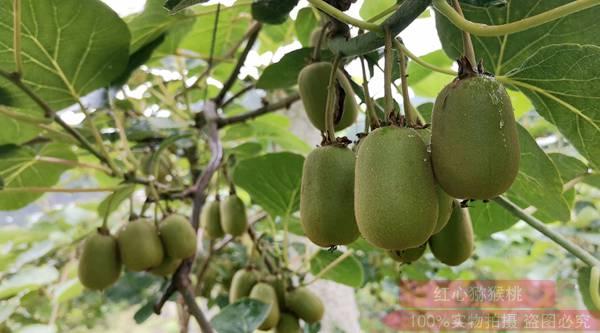 四川东红猕猴桃疏果