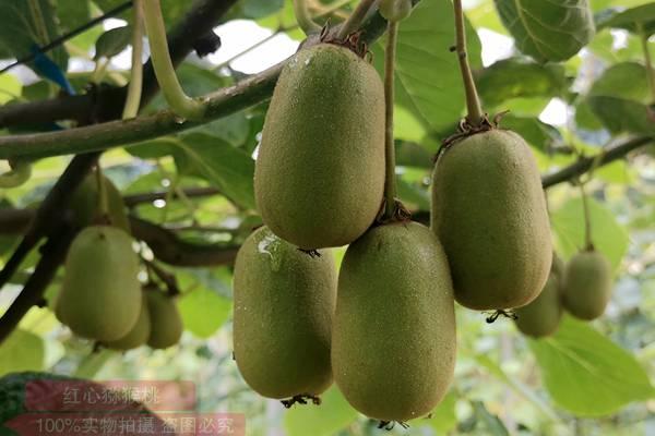 重庆东红猕猴桃疏果
