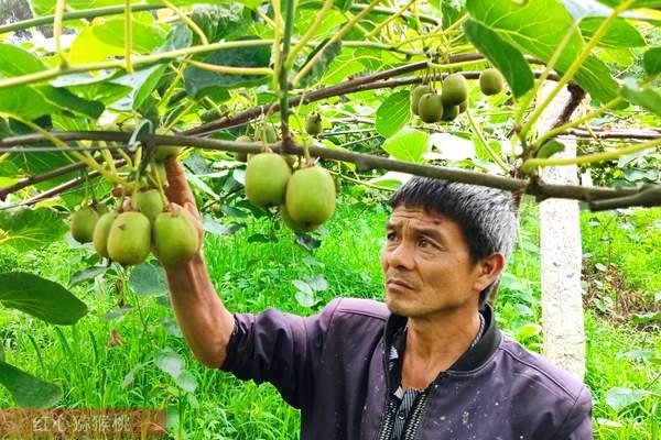 黄肉猕猴桃选果