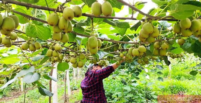 江苏南通海门也有种植猕猴桃的