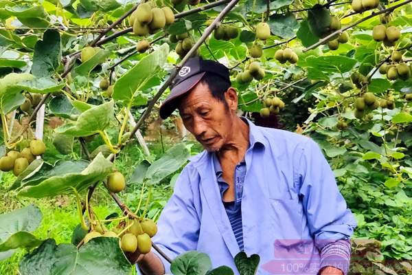 江西贛州安遠縣舉辦2019年贛南紅心獼猴桃金獎評選活動