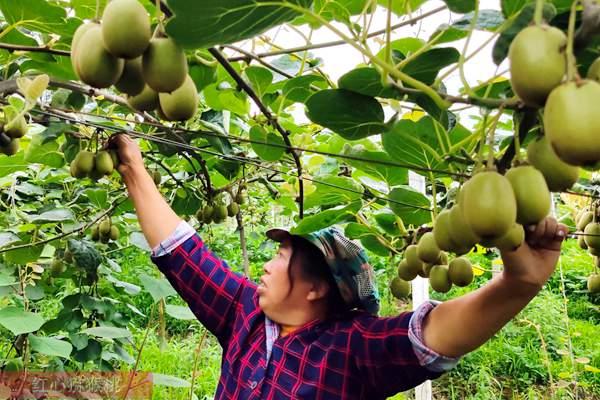 浙江金华武义县坦洪乡红心猕猴桃受疫情影响滞销