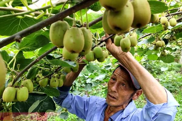 四川猕猴桃价格