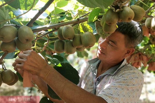 湖南省邵阳市城步线上线下互动销售有机猕猴桃