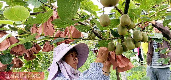 猕猴桃果园管理