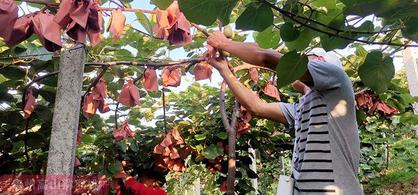 红心猕猴桃果园