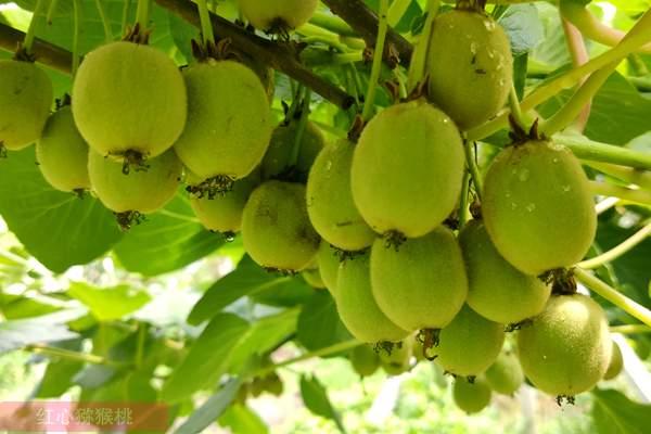 最新红心猕猴桃栽培技术