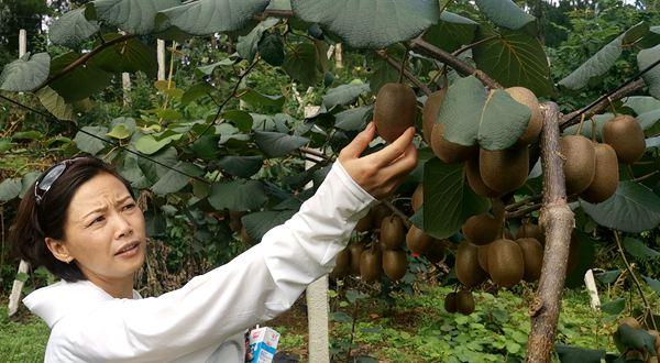 阳光金果G3猕猴桃采摘