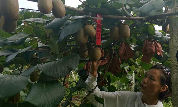 猕猴桃采摘