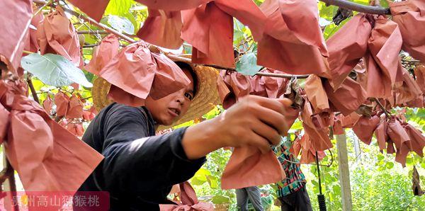 红心猕猴桃认养树木