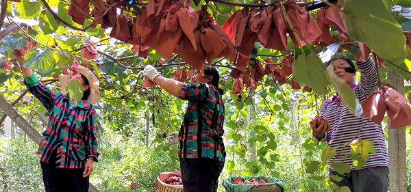 东红猕猴桃采摘