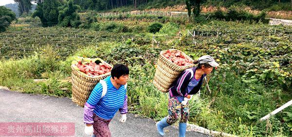 东红猕猴桃丰收